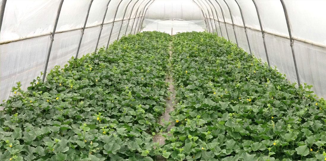 coltivazione in serre angurie